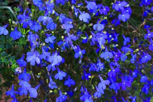 Trailing lobelia Blue