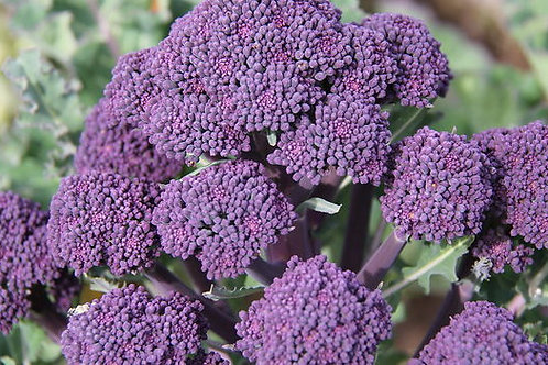 Broccoli- Purple Sprouting