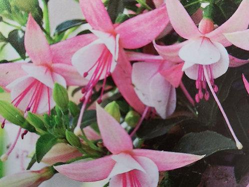 Fuchsia sophia 14cm pot