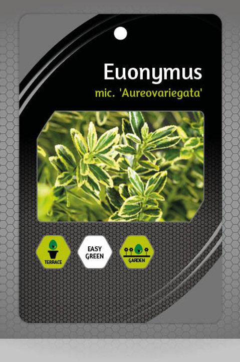 Euonymus Aureovariegata