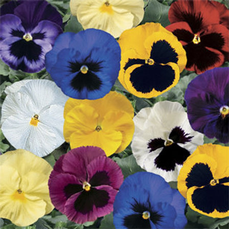 spring/summer flowering mixed pansies- 6 pack