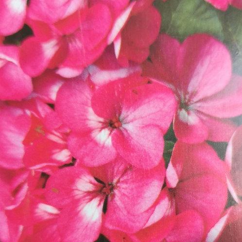 Geranium Deep rose 6pk