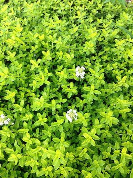 Golden thyme- small
