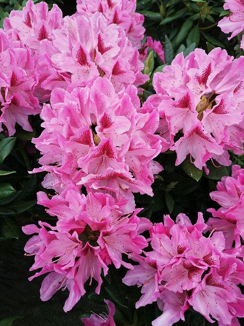 Rhododendron 'cosmopolitan' 10L