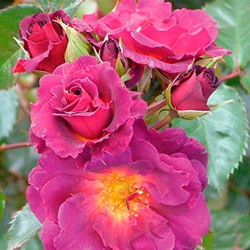 Rose 'Wild Rover'