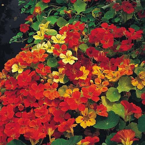 Nastutium Plants- Gleam Hybrids