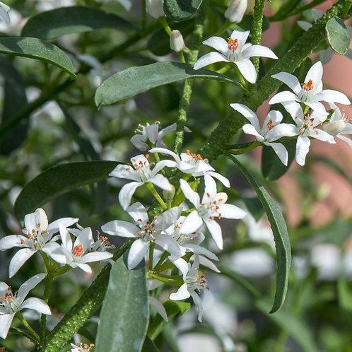 Eriostemon 'Flower Girl White'