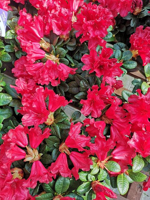 Dwarf Rhododendron 'Scarlet Wonder