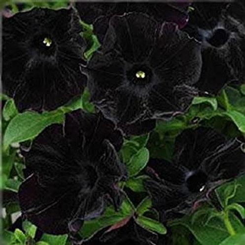 Surfinia Black Ray