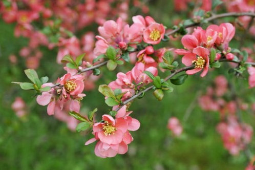 Chaenomeles 'Pink Trail'