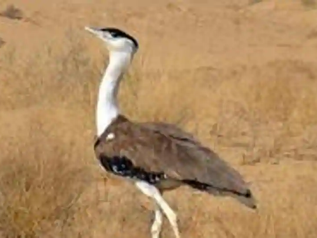 Great Indian bustard conservation: Flap-like diverters installed on live wires to prevent collision