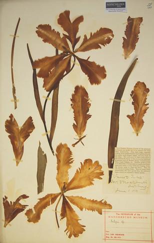 Tulip dated 1st June 1880