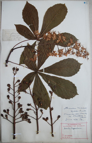 Horse chestnut dated 14th June 1889
