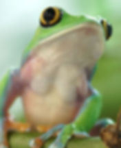 the photo shows a leaf frog in the foreground. with a lively green color and a transparent white belly, and large yellow black eyes. the photo introduces the encyclopedic section. to access it use the link provided below
