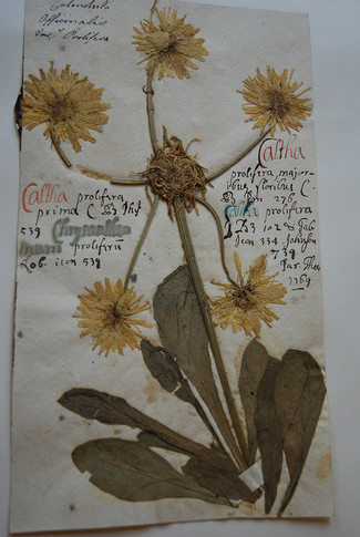 Marigold undated, likely 18th Century