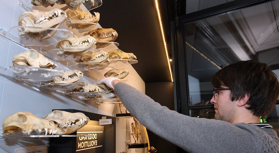 curator David Gelsthorpe installing a dogs and wolves skulls collection on nature's library cabinet