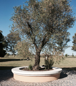 Our Precious Olive Tree
