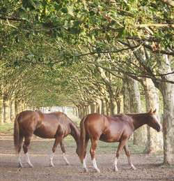 Ponies in the Avenue