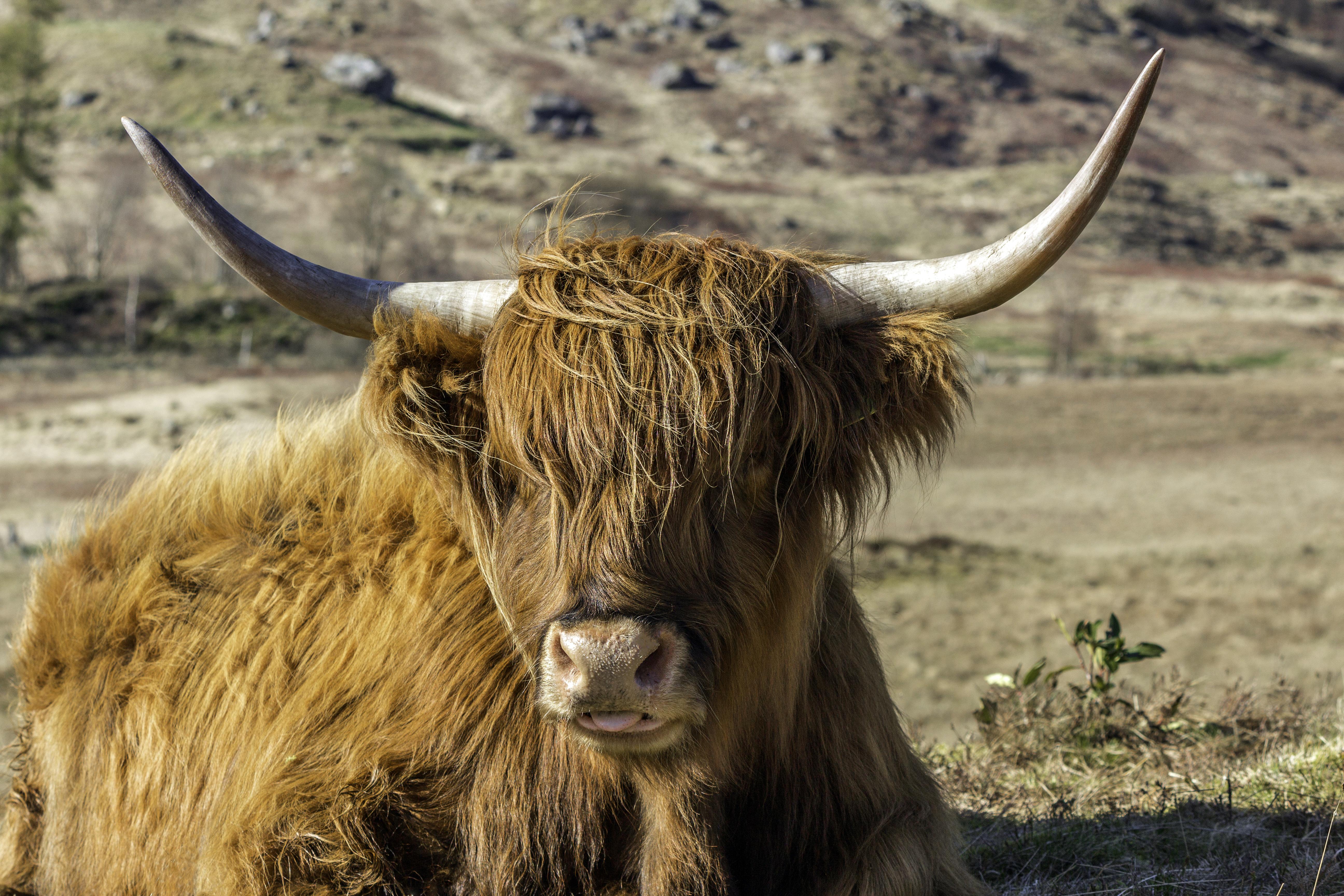 Cheeky Cow AP 66