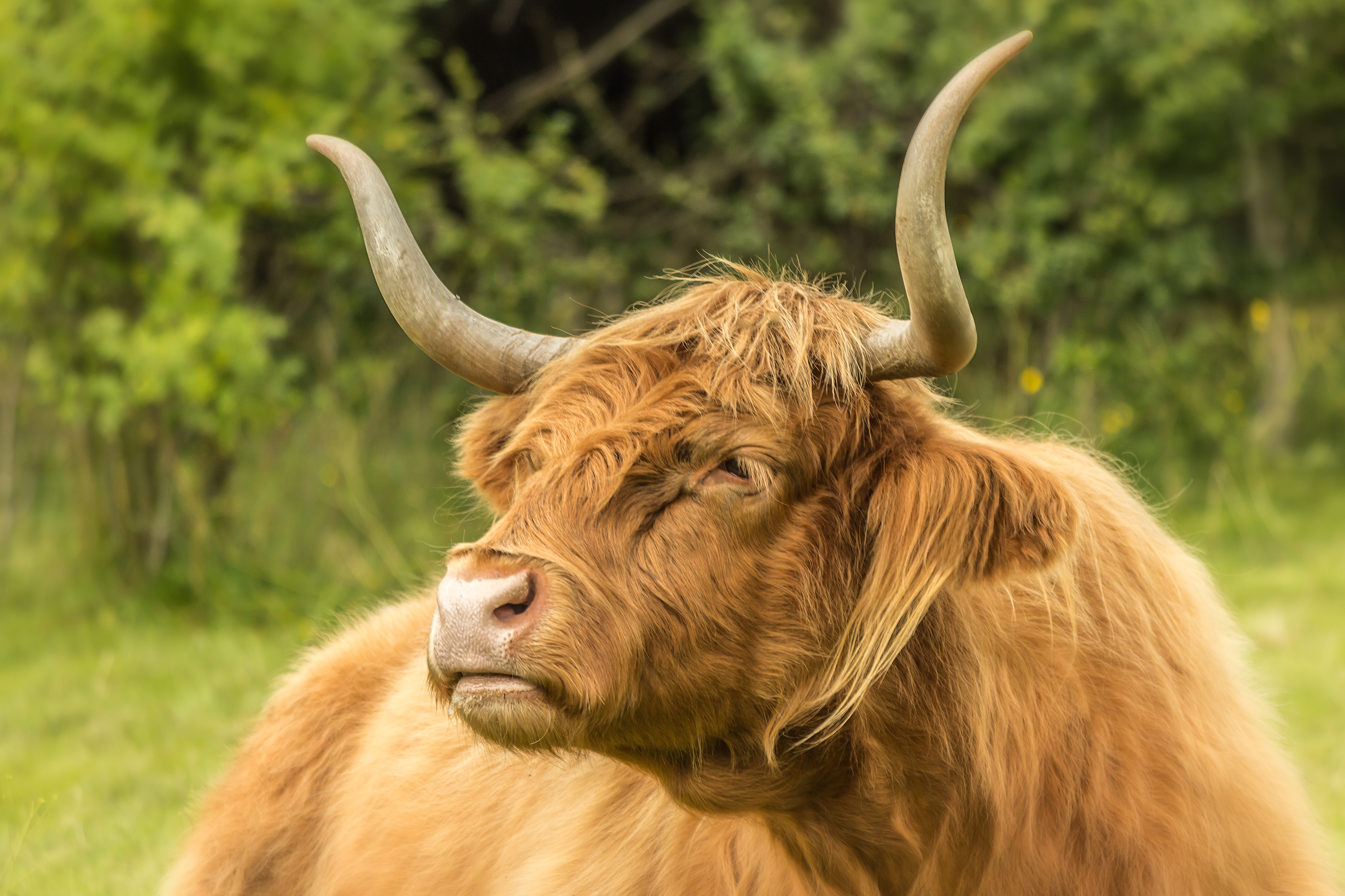 Red Highland Cow AP34