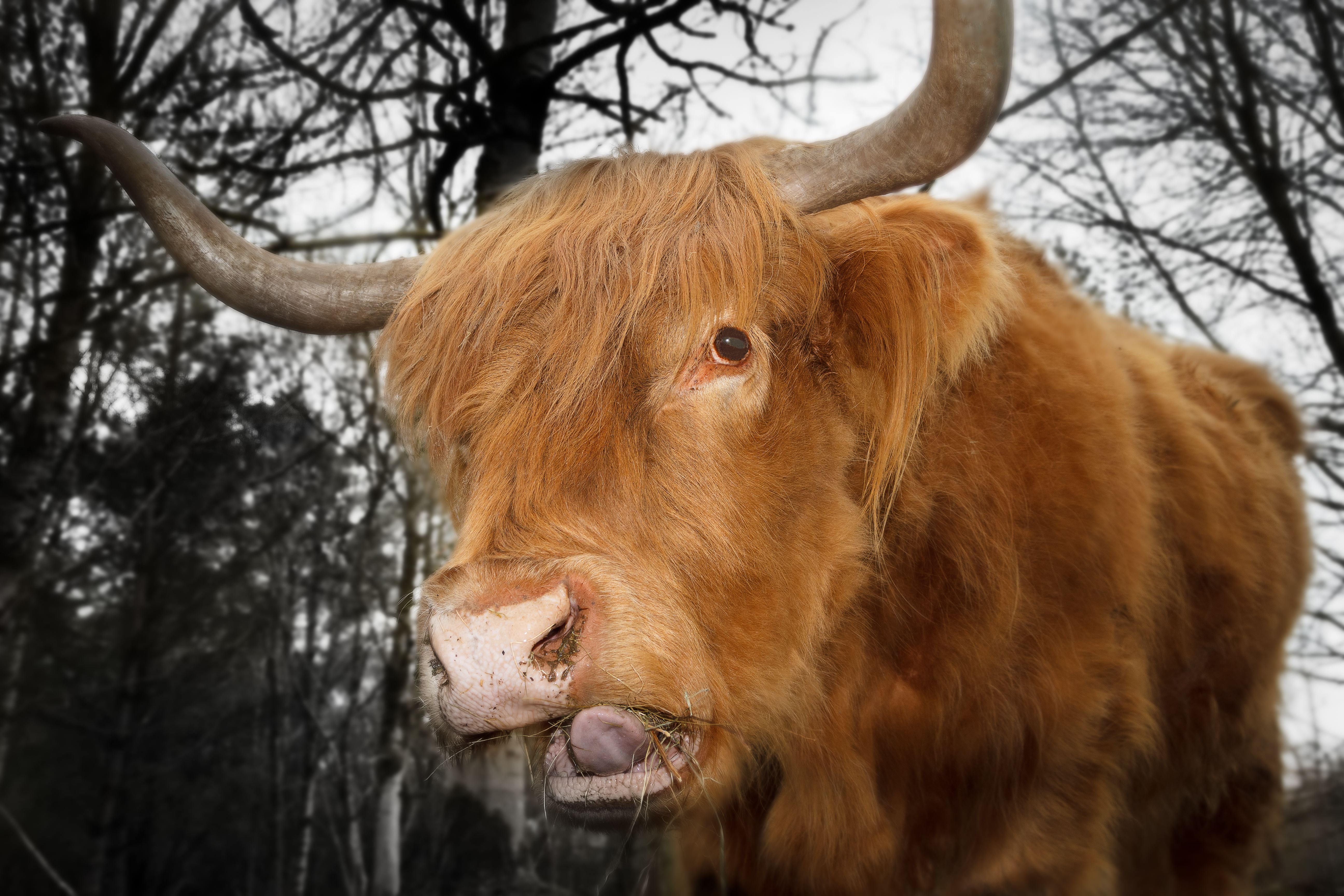 Red Highland Cow  AP 64