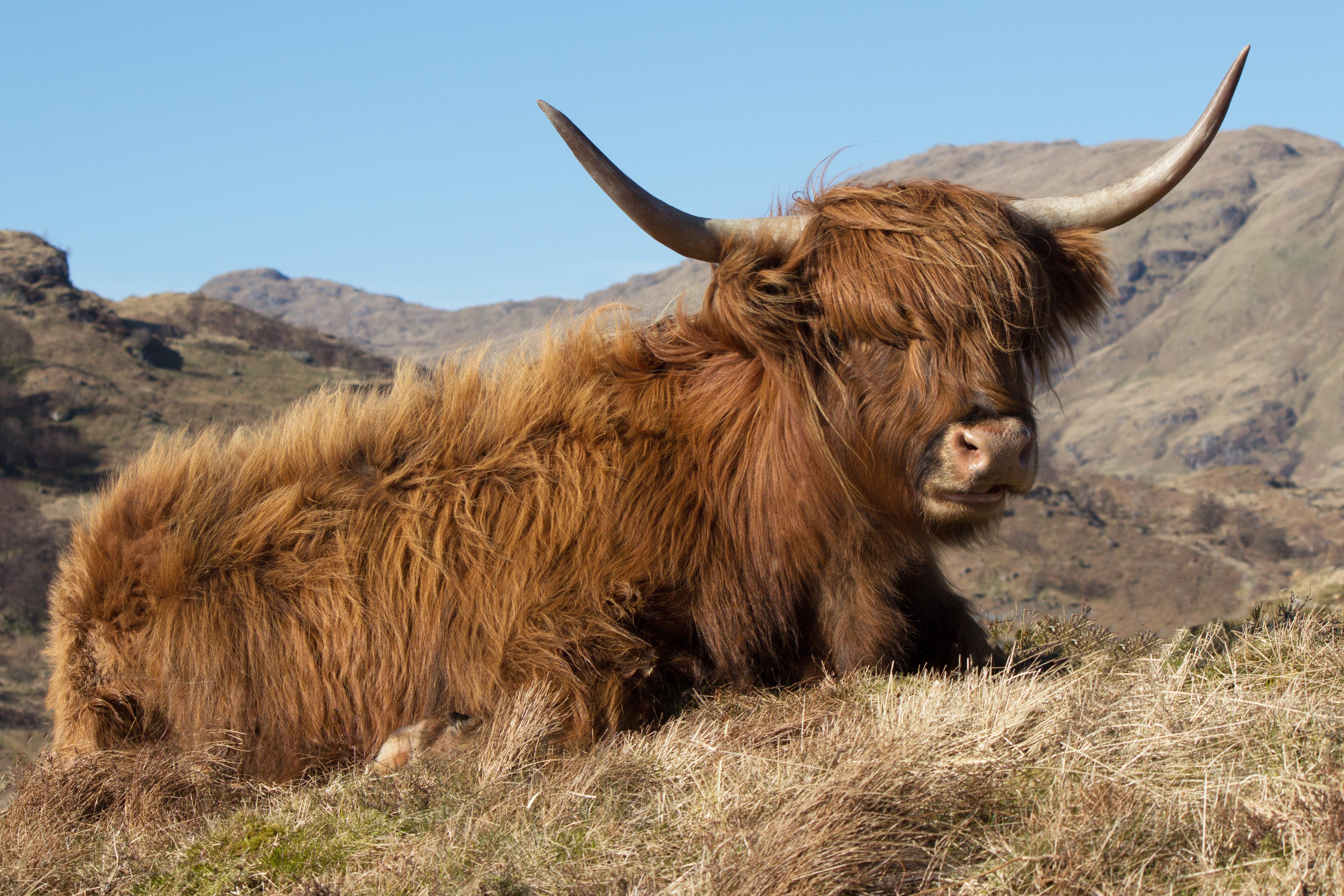 Loch Arklet Highland Cow  AP 81