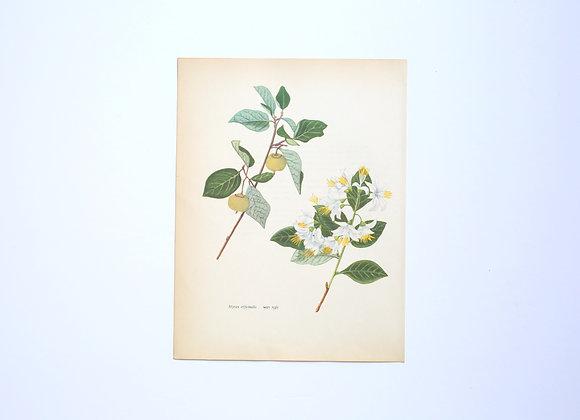 ציורי צמחים רות קופל - לבנה רפואי