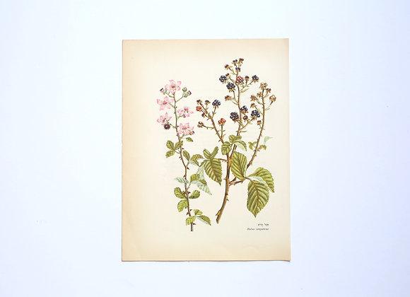 ציורי צמחים רות קופל -פטל קדוש