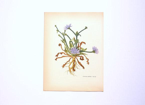 ציורי צמחים רות קופל - עולש מצוי
