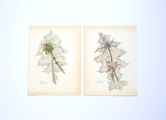 ציורי צמחים רות קופל - ברקן וגדילן
