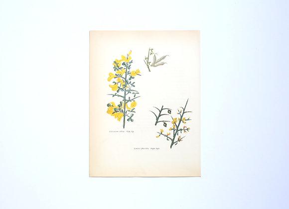 ציורי צמחים רות קופל - רתמה וקידה