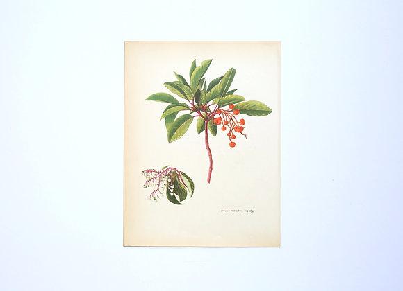 ציורי צמחים רות קופל - קטלב מצוי