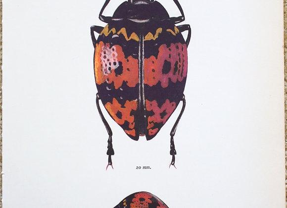עמוד מתוך מדריך ישן נושן על חיפושיות #04