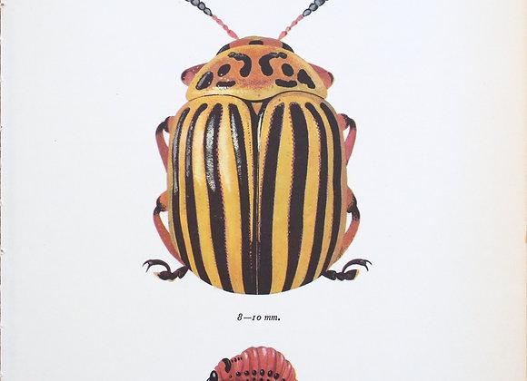 עמוד מתוך מדריך ישן נושן על חיפושיות #07