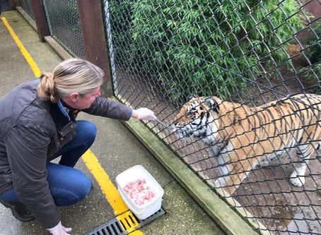 What happened when Kate met our beautiful adopted tiger Anoushka