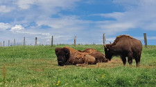 Bison Ranch - Orchimont