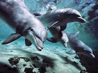 Dolphins-talk-language.jpg