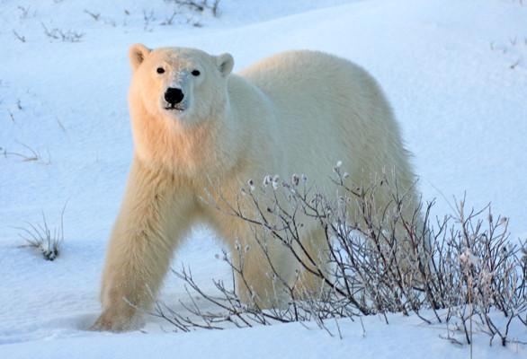 Isbjørnen