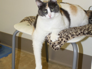 Adopt Barbie - Rescue Cat of the Week!