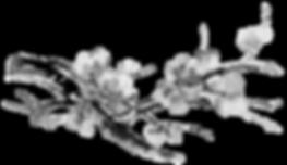 CerisierFondBlancpng.png