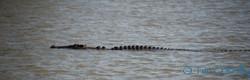 Croc in Liverpool_new.jpg