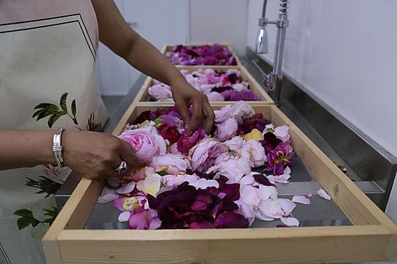 Hand sorting English Roses, rose petals