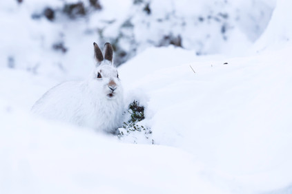 Mountain Hare.jpg