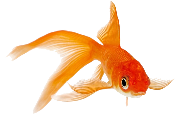 Goldfish1png.png