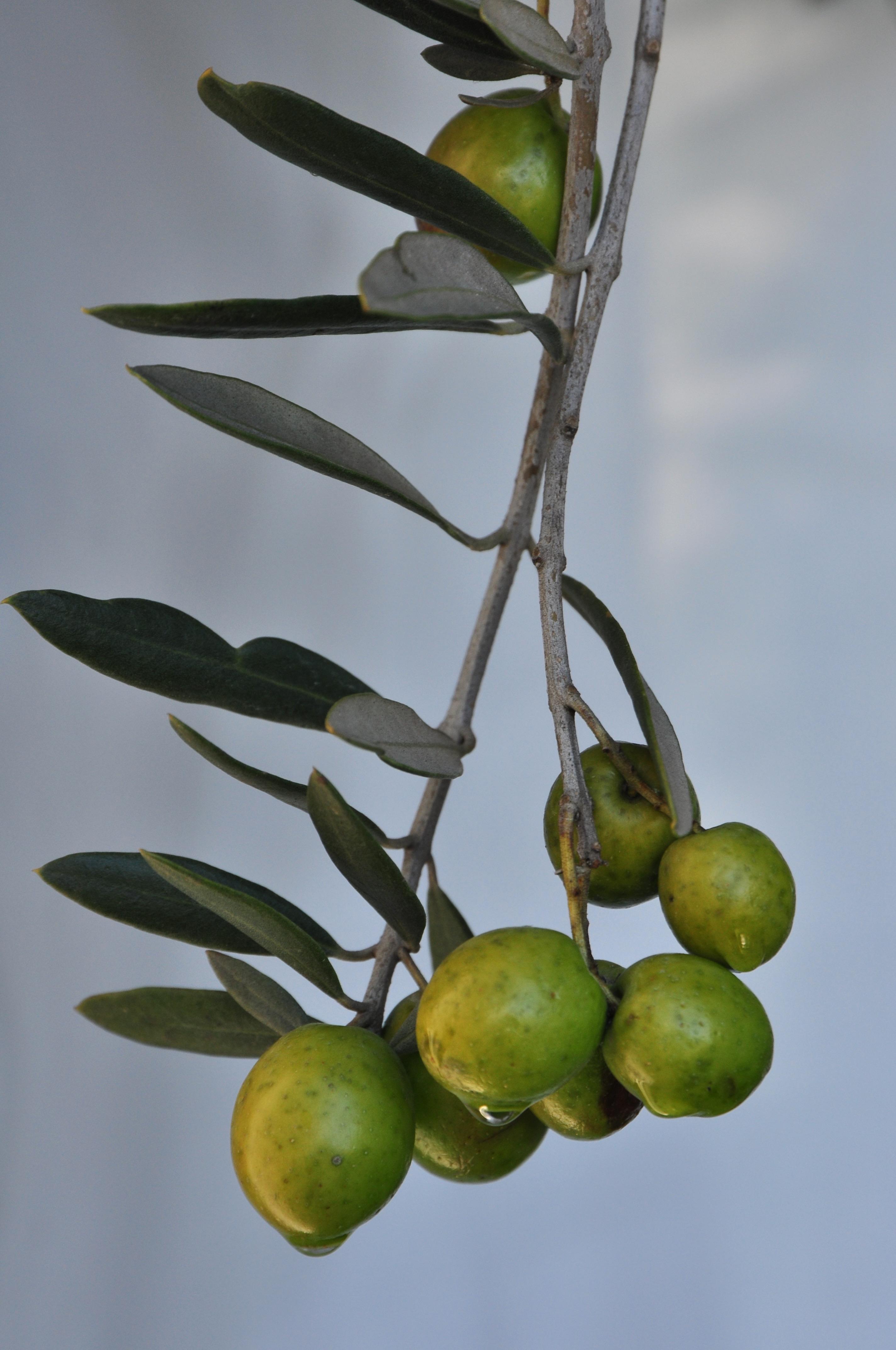 Harvest Festival Olives, Vic