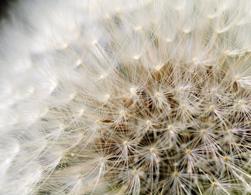 graines de pissenlit