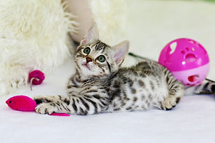 Kitten playing with toys - TassieCat