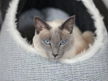Cat in basket - TassieCat