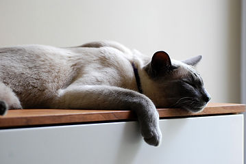 Cat Sleeping - TassieCat