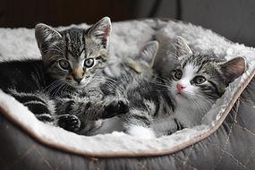 Playing Kittens - TassieCat